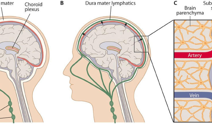 Lymphatic Vessels In The Brain Among The Most Significant Scientific