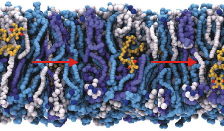 Quinone and its analogues in mitochondrial membrane.
