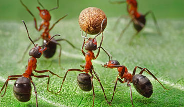 A close-up of ants carrying their building block