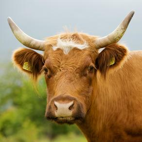 Cow_horned_portrait_wikipedia