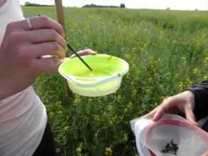 Hokkanen - sampling pollen beetles