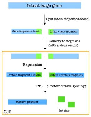 Basics behind PTS-based gene therapy