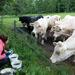 Cows get curious when we collect beetles from their dung. By Bess Hardwick