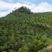 The oil palm landscapes. Photo: Benjamin Blonder