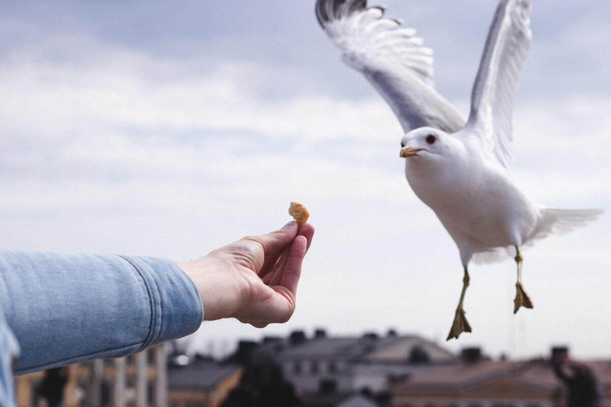 Photo of a seagull catching a piece of bread