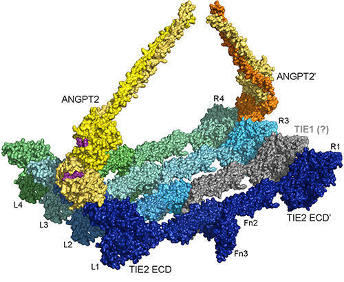 A new model of ANGPT2-mediated TIE2 and TIE1 clustering and activation at atomic resolution.