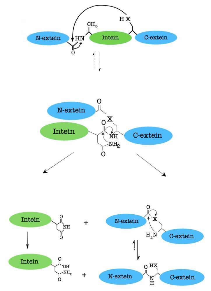 The splicing mechanism by class 2 intein