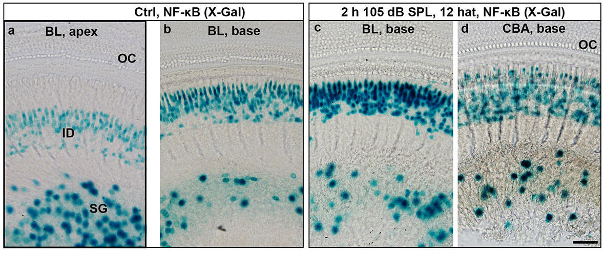 NF-kB transcriptional activity in the mouse cochlea prior and after noise-exposure.