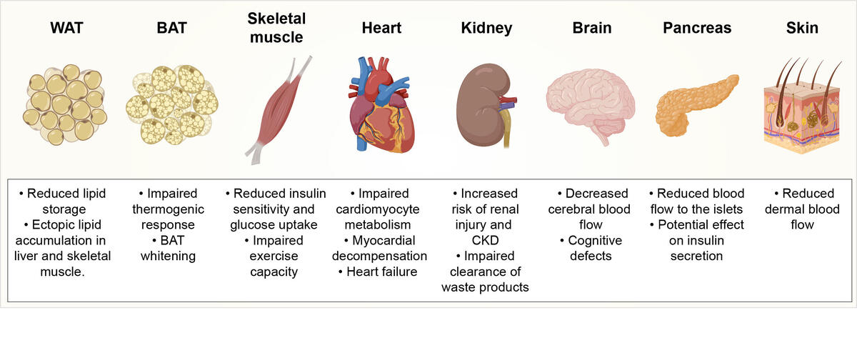 Effects of obesity-induced capillary rarefaction