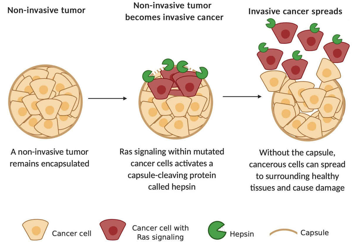 How Ras protein signaling hijacks hepsin to turn a non-invasive tumor into invasive cancer.