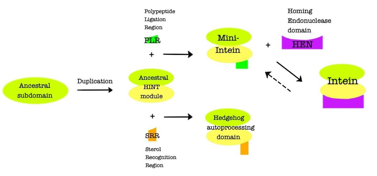 The suggested evolution of inteins and Hedgehogs