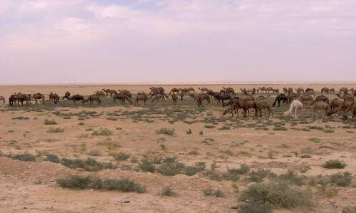 Dromedaries grazing in a southern plateau in the piedmont area of Jebel Bishri. Photo: Minna Lönnqvist (Silver), © SYGIS.