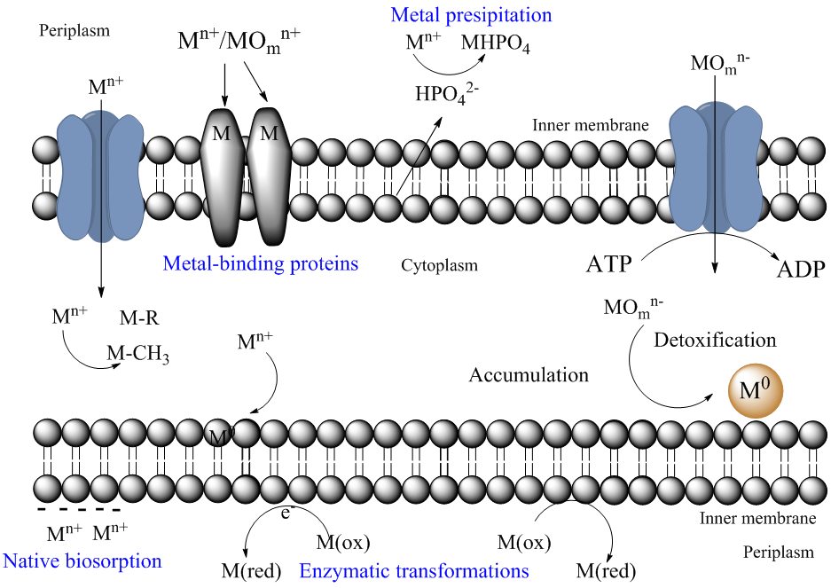 Interactions of metals with bacteria