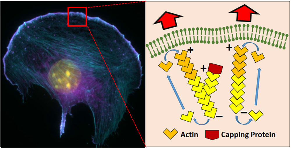 The rapidly growing actin filament plus-ends