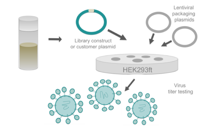 Lentiviral services include amplifying DNA from in-house library or customer glycerol stock. HEK293ft cells produce lentiviruses after transfection of lentiviral DNA components. Viral titer measures capsid protein amount in viral prepation.