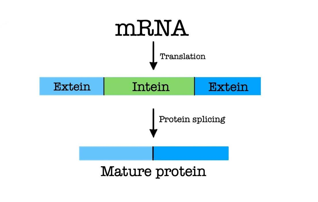 The fundamental path of protein splicing