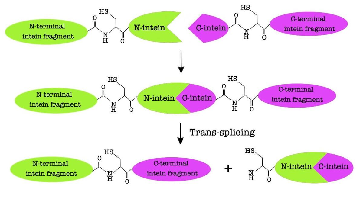 The mechanism of protein trans-splicing