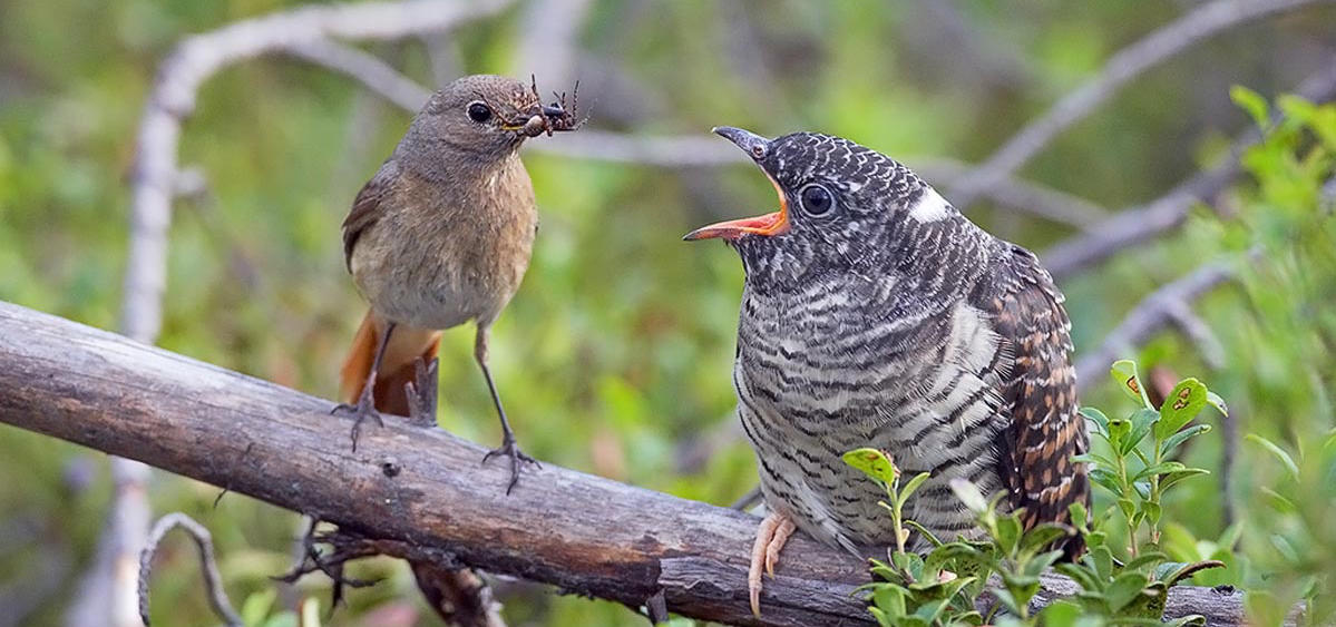 Redstart feeding cuckoo chick