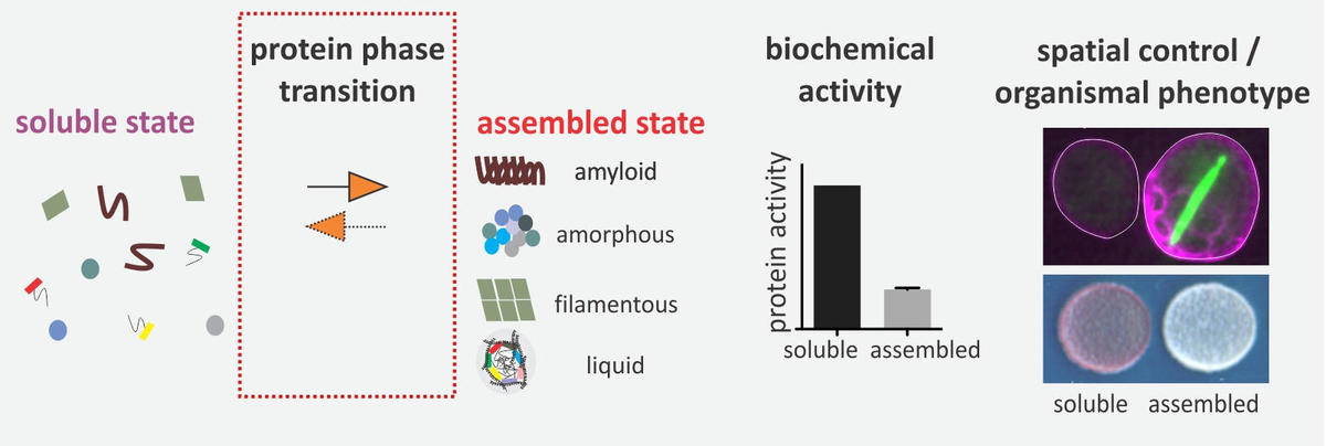 protein assemblies as phenotypic swiches / Saarikangas lab