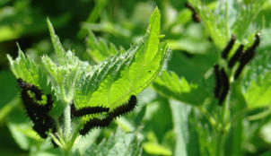 Araschnia levana - The map butterfly larvae
