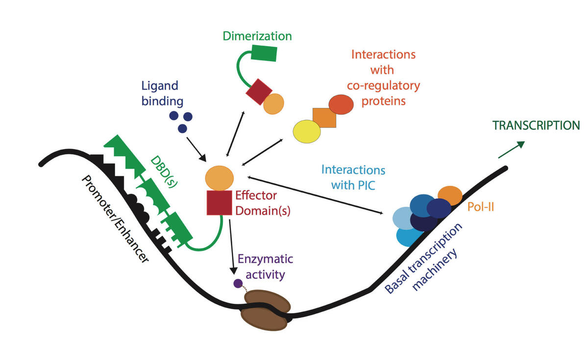 Varjosalo Lab. Human Transcription Factor Interactions illustration.