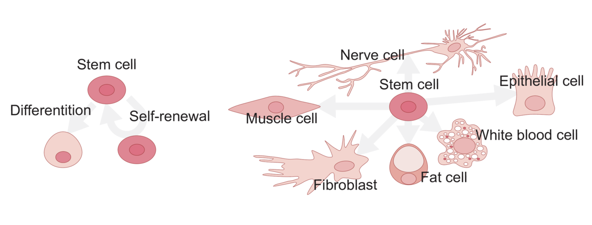 Stem cells can self-renew and differentiate into other types of cells. Image: Emilia Kuuluvainen