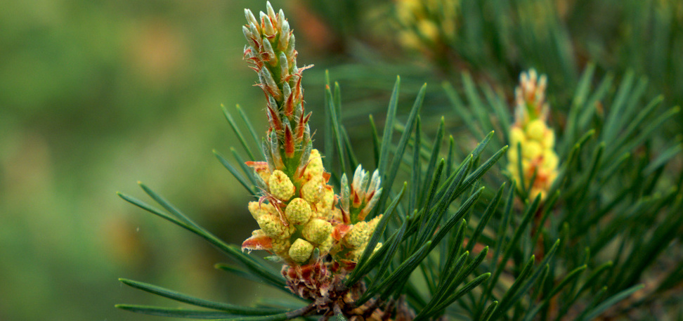 Pine branch with needles and new seeds. Photo by Juho Aalto