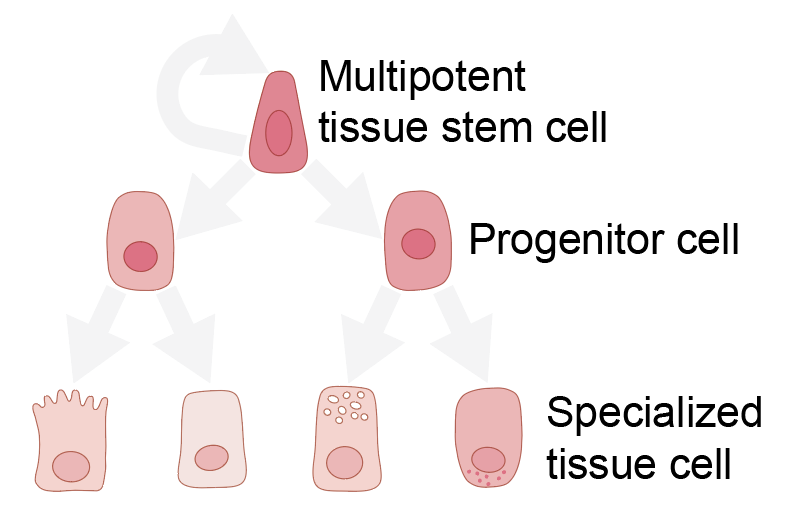Tissue stem cells can differentiate into specialized cells of the tissue, Image: Emilia Kuuluvainen