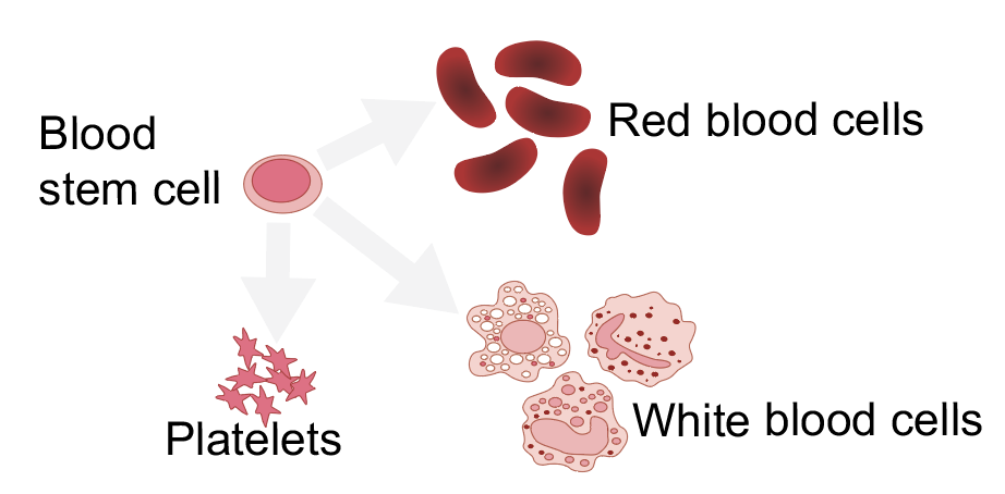 Blood stem cells differentiate into red and white blood cells and platelets, Image: Emilia Kuuluvainen