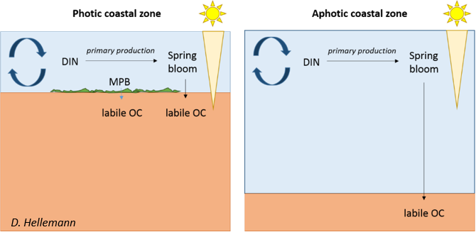 Different sources of labile organic carbon in photic and aphotic coastal sediments in spring hypothesized to affect seasonal nitrate reduction.