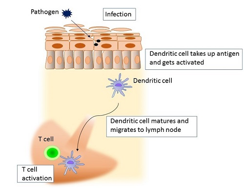 DC migration from skin to lymph nodes