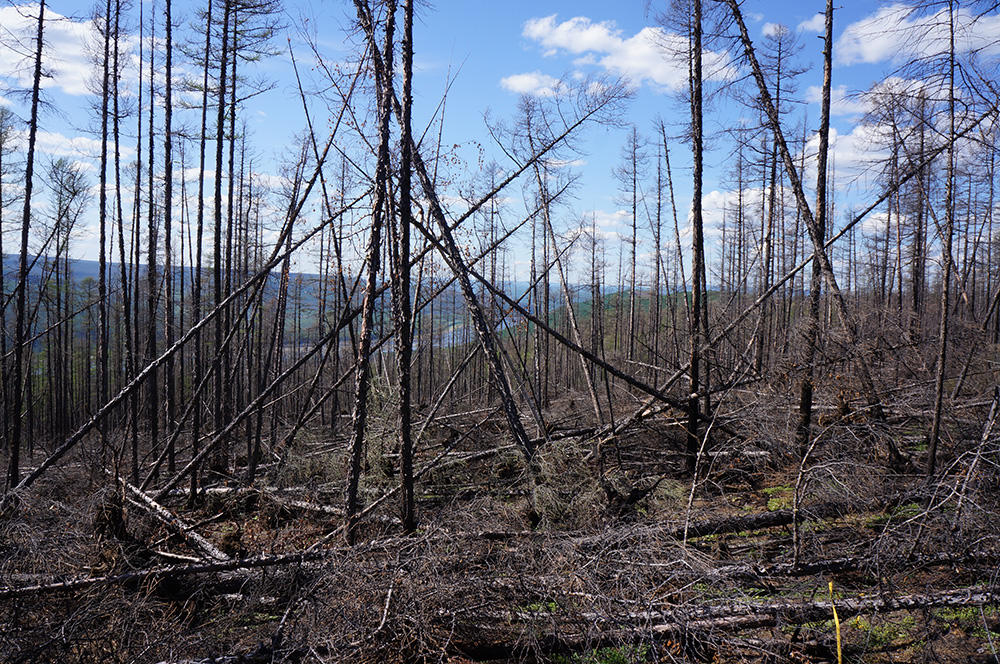 Disturbances in boreal forests