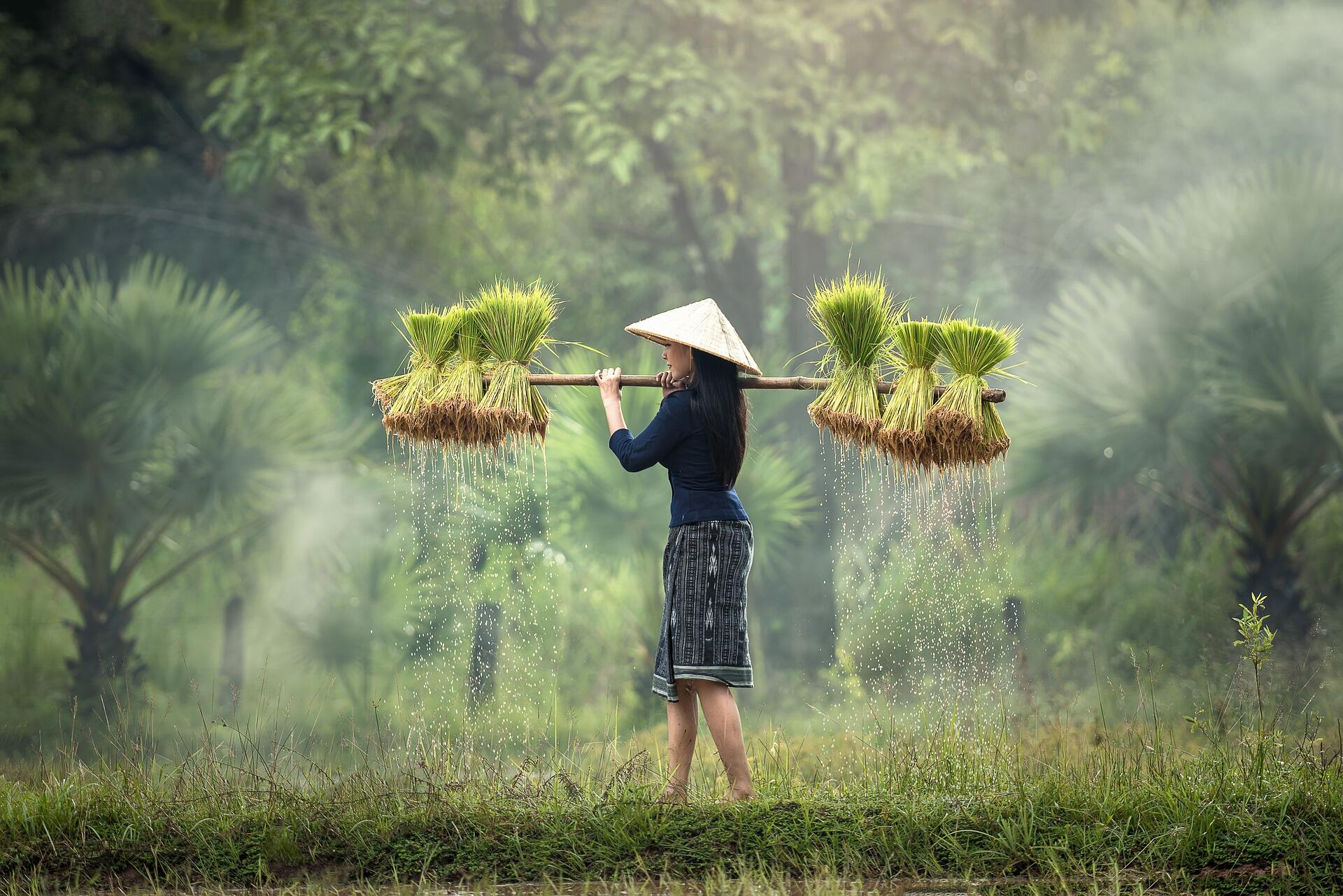 A woman carrying rice plants in Myanmar.