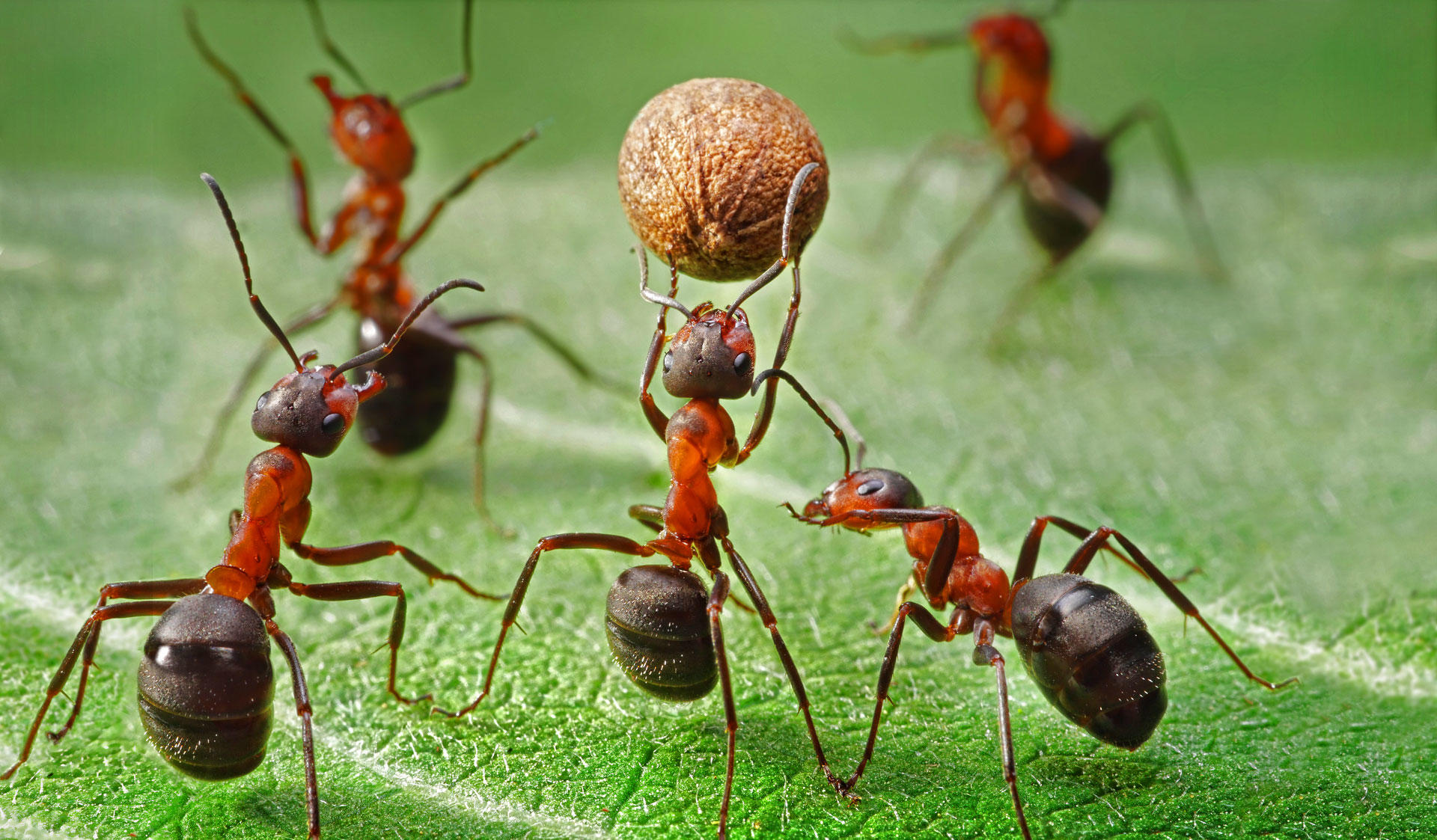 Ants carrying a seed on a green leave. Image of the Master's Programme in  Ecology and Evolutionary Biology at the University of Helsinki.