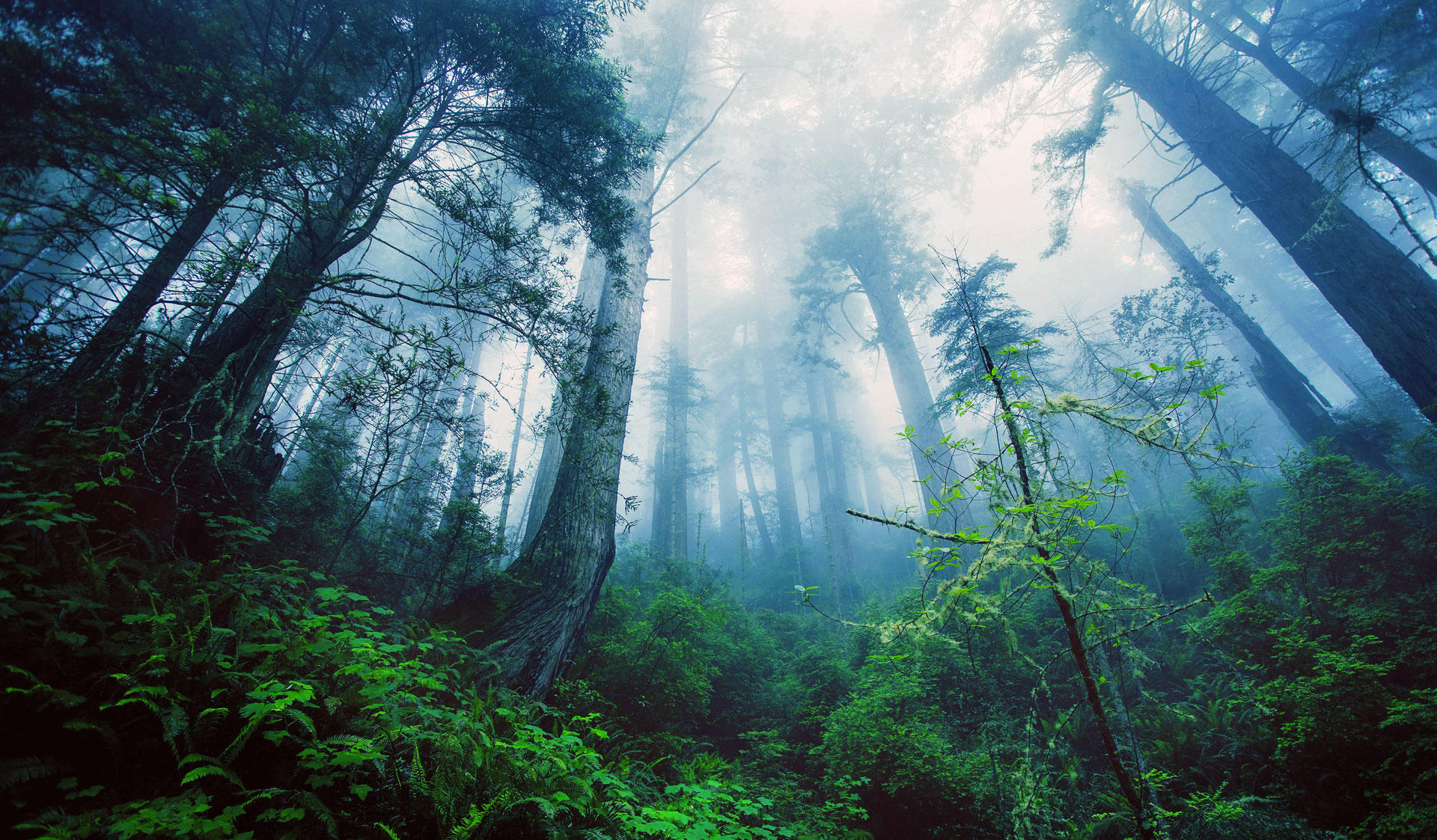 Big trees and misty air in a forest. Image of the Master's Programme in Forest Sciences at the University of Helsinki.