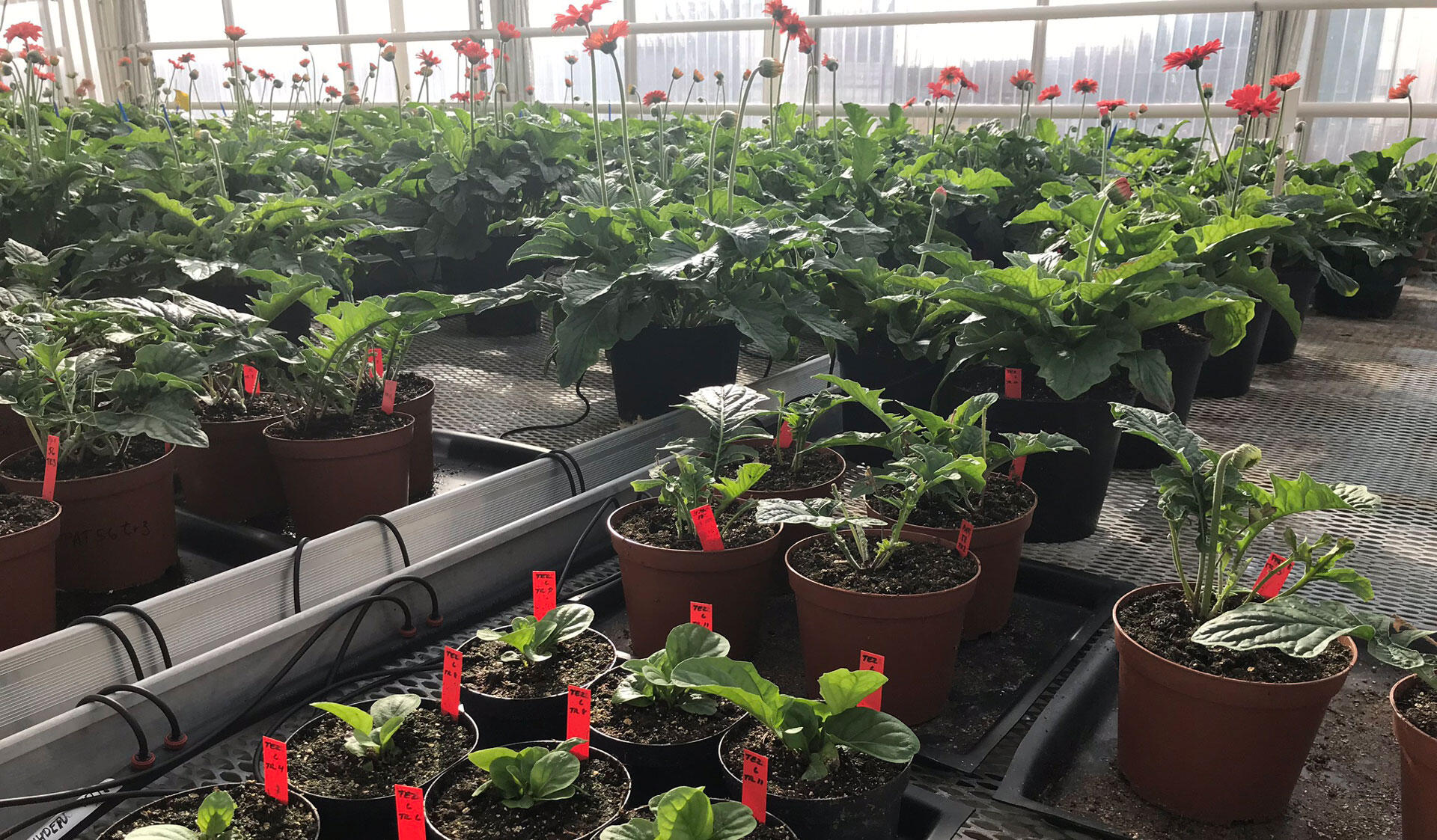 Plants in pots in a greenhouse at the Viikki Campus.