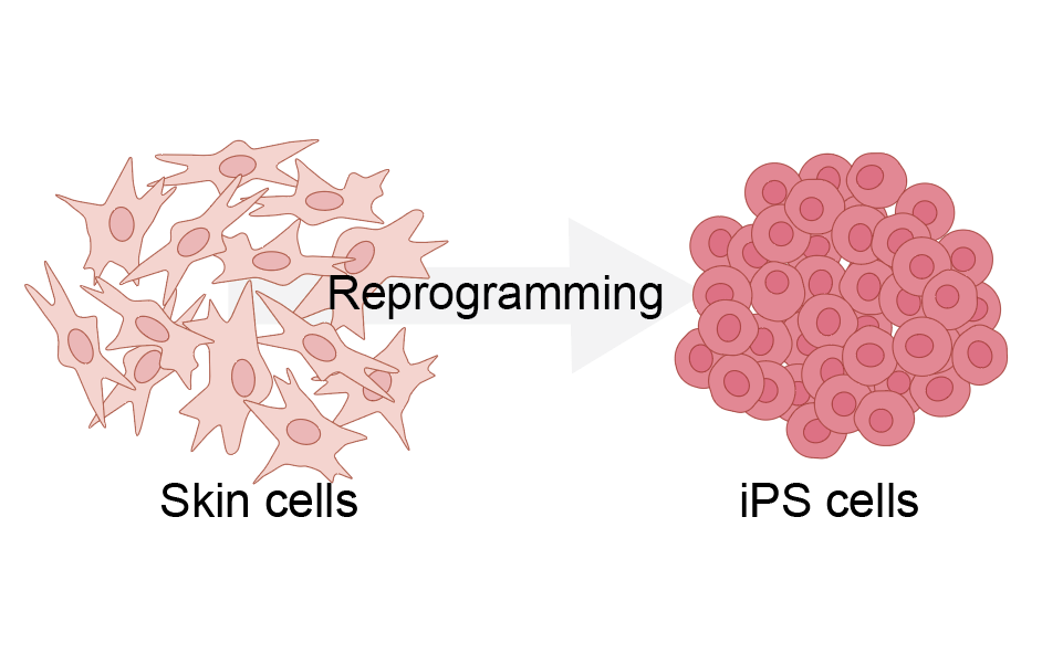 Cells can be reprogrammed into iPS cells, Image: Emilia Kuuluvainen