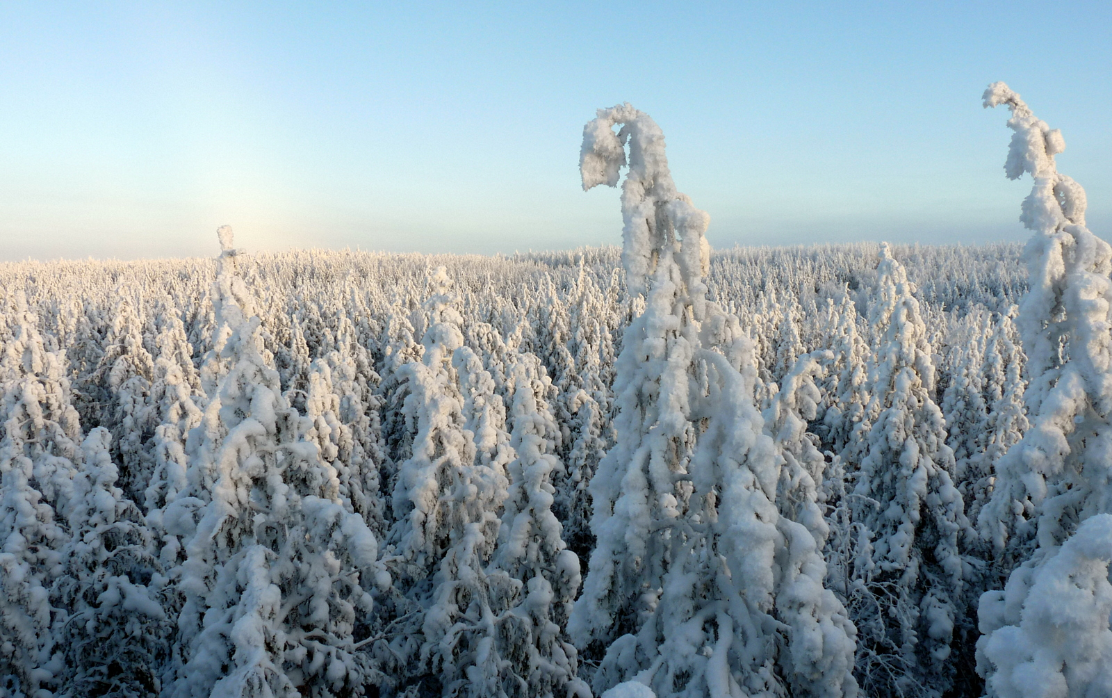 Boreal forest under snow