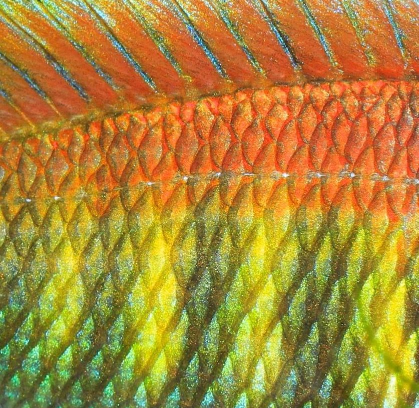 The skin of a colourful cichlid fish.