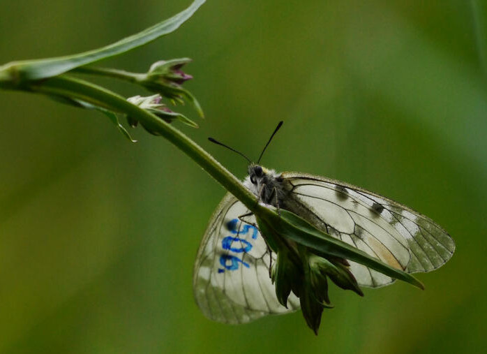 Photo of a clouded apollo butterfly