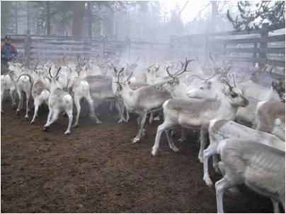economic ecological optimization group reindeer picture