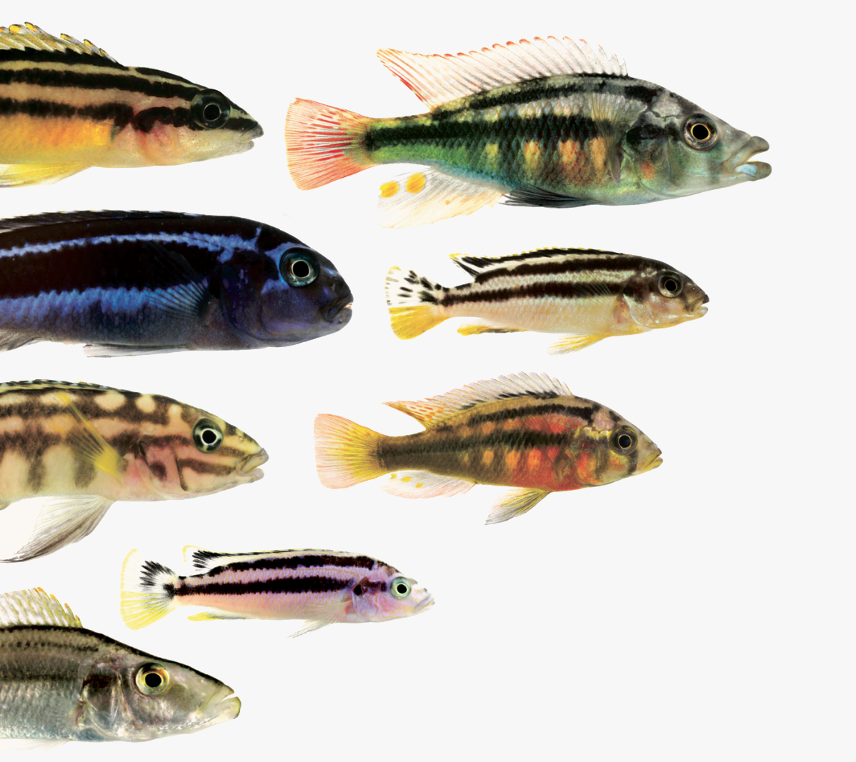 Different (colourful) species of cichlid fishes.