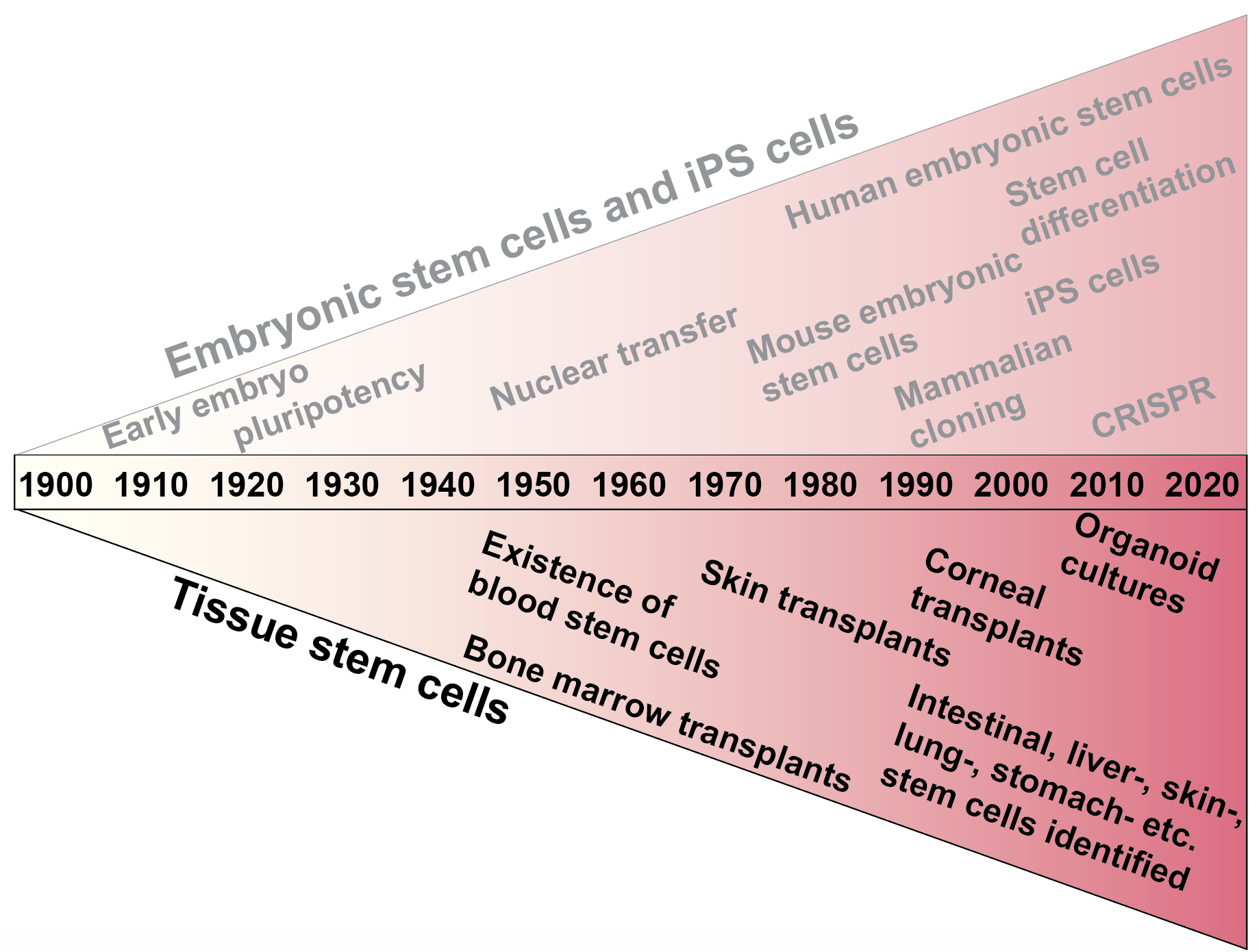 The history of stem cell research, Image: Emilia Kuuluvainen