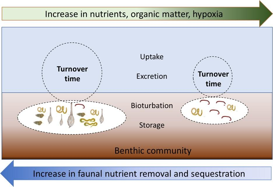 Turnover of nutrients in benthic faunal communities