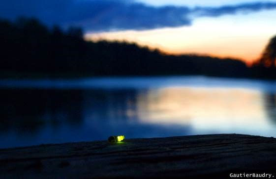 Tvärminne current research projects - glow worm behavioural ecology. Photo: Gautier Baudry