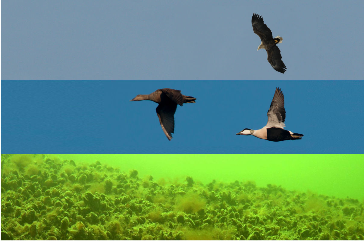 Tvärminne current research project - eider duck foodweb interactions