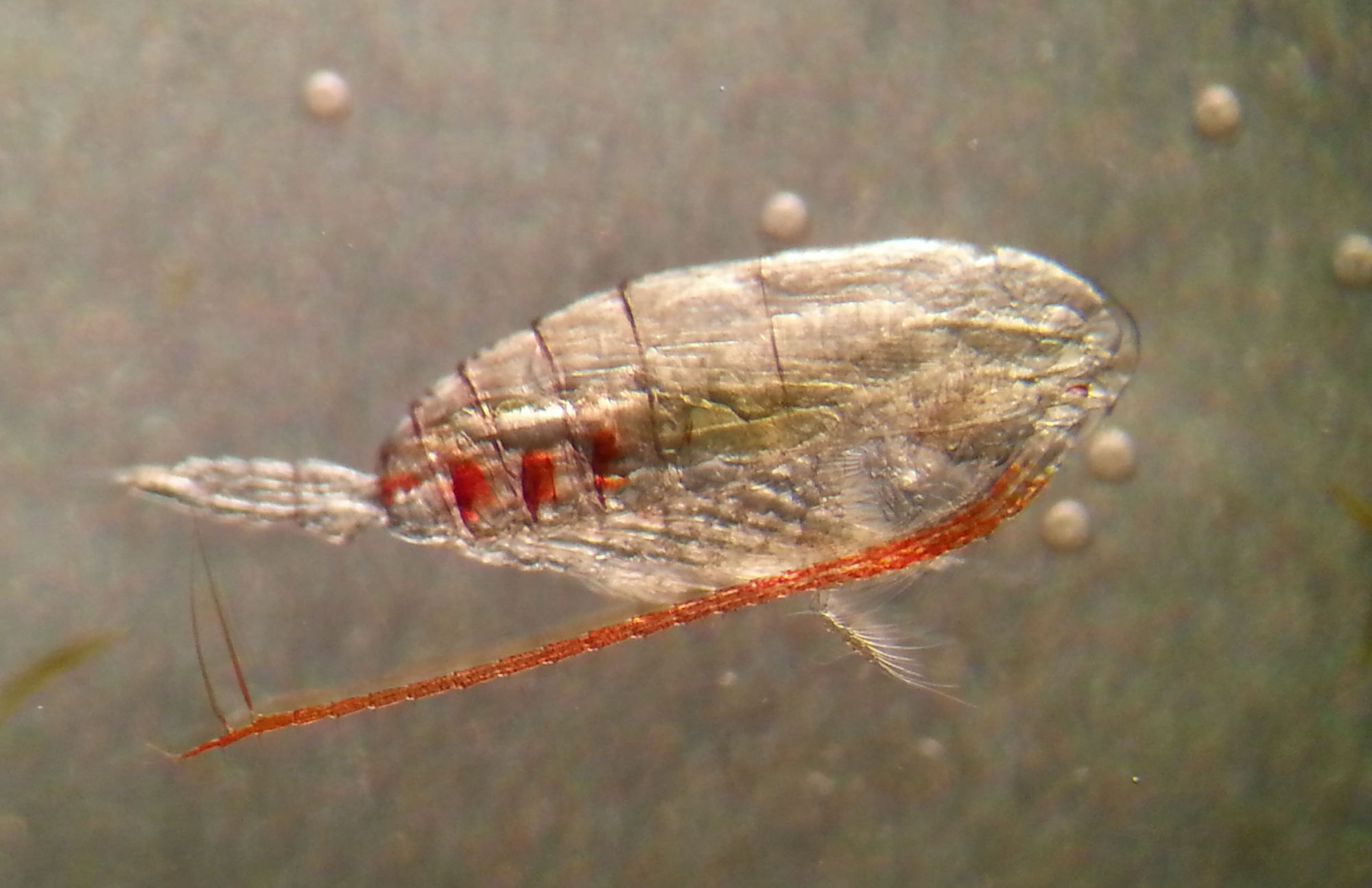 Tvärminne current research projects - zooplankton ecology (Calanus)