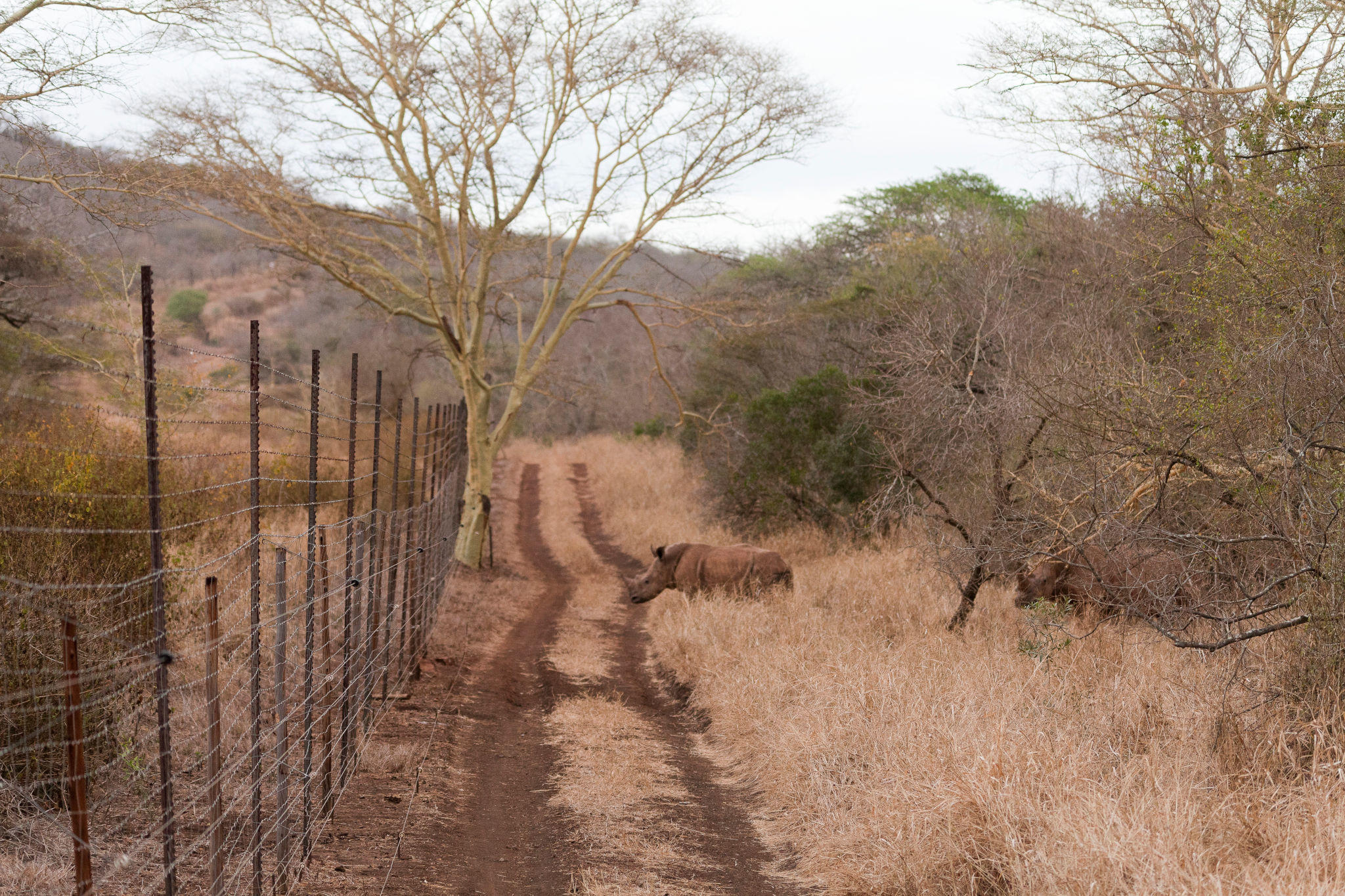 A rhino approaching the fenced perimeter of a conservation area (Photo: Enrico Di Minin).