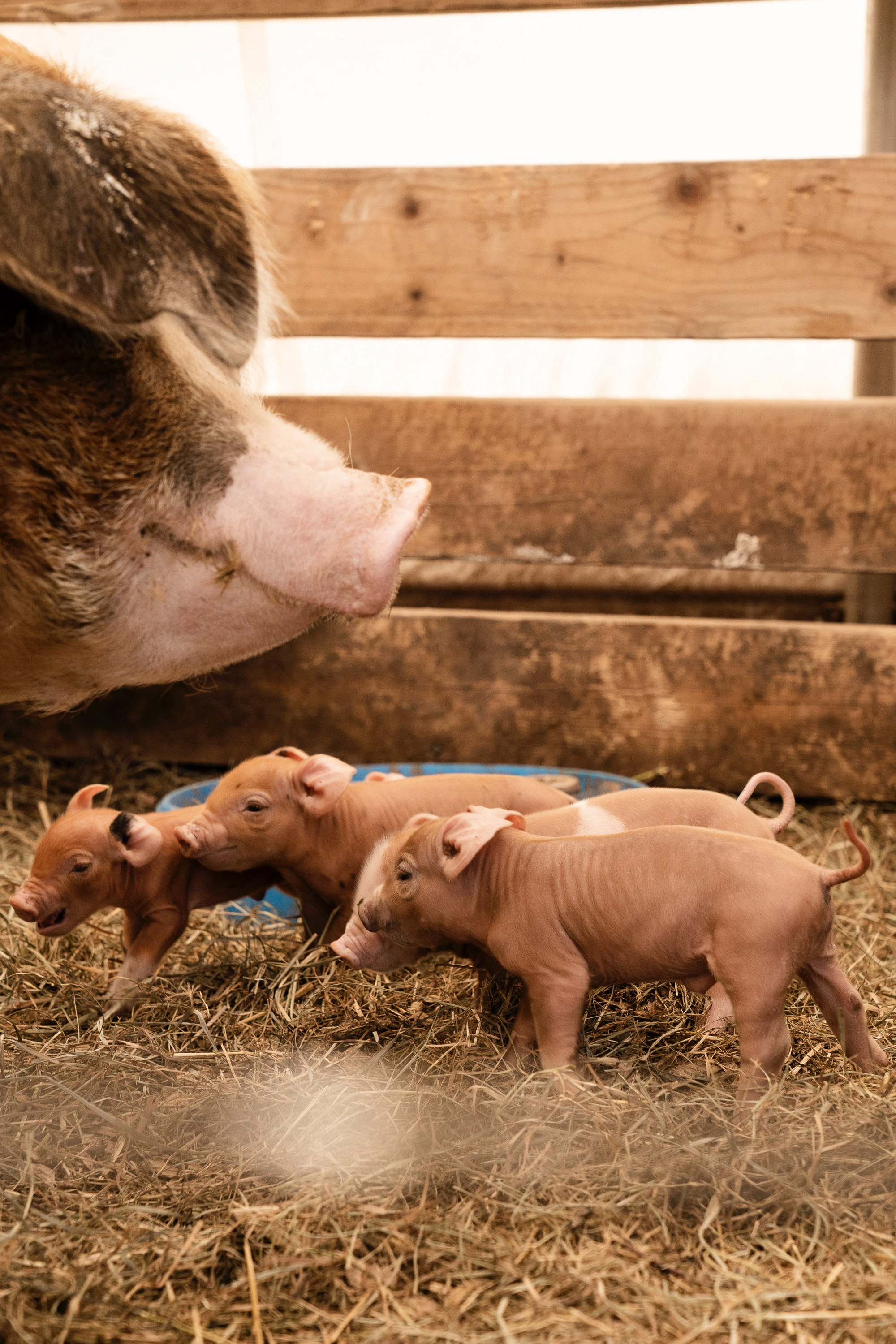 Pig reproduction services herd